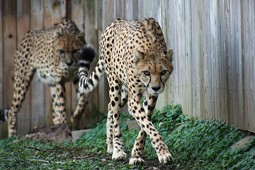 two cheetahs walking