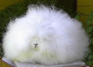 This Angora rabbit looks like a loofah!