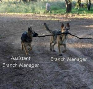 "Two dogs carrying a tree branch as a toy; one dog is titled ""branch manager,"" the other is titled ""assistant branch manager"""