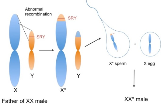 Crossing over in sex chromosomes